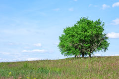Trees in Summer Royalty Free Stock Photography