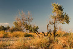 Trees summer steppe. Summer steppe landscape with a groupe of trees, dry grass, blue sky and the horizon line Royalty Free Stock Photography