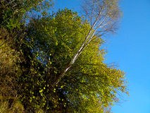 Trees in the sun forrest Royalty Free Stock Photos