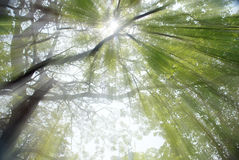 Trees with Sun Rays Royalty Free Stock Photography