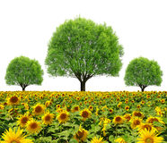 Trees on sunflower field Royalty Free Stock Photography