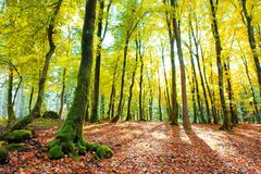 Autumn German forest with sun beam. Stock Photography