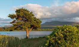Trees at sunset at McCarthy Mor Irish castle ruins at Lough Leane on the Ring of Kerry in Killarney Ireland. IRE royalty free stock photo