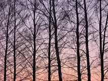 Trees in sunset sky background Royalty Free Stock Photo