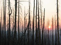 Trees at sunset after a wildfire. Burnt trees at sunset after a wildfire Royalty Free Stock Photos