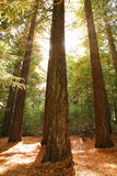 Trees in the sunshine. Tall trees reaching upwards to the sky Stock Photos