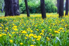 Trees surrounded by blooming yellow dandelions Stock Photos