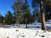 Trees Surrounded by Snow in Wooded Area. Trees surrounded by snow on the ground during the winter in Colorado, USA royalty free stock photo