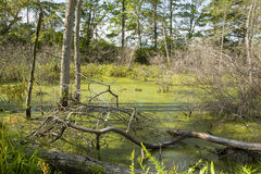 Trees surrounding Moss-Covered Bog Royalty Free Stock Photo