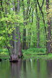 Trees in Swamp Royalty Free Stock Photo