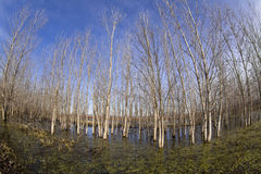 Trees in swamp Royalty Free Stock Image