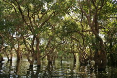 Trees in swamp. Trees looking like a community in the swamps - Cambodia Royalty Free Stock Photo
