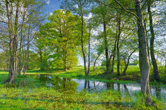 Trees in the swamp. Nature reserve. Sunny spring landscape. Trees in the swamp. Flood waters of The Narew River, Poland Royalty Free Stock Photography