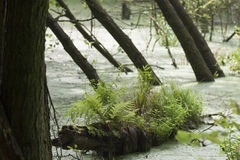 Trees in the swamp. Small lake in marsh area with dead trees Royalty Free Stock Photo