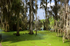 Trees in a Swamp. Trees with spanish moss in a swamp Stock Images