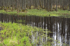Trees in a swamp. Stock Images