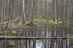Trees in a swamp. Royalty Free Stock Image