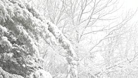 Trees swaying in windy snowstorm. Video of various trees swaying in a heavy snowstorm with snowfall stock footage