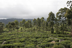 Trees into Tea plantations. Ella, Sri Lanka. Big trees into the green Tea plantation fields. Ella, Sri Lanka stock photo