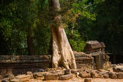 The trees on the temple walls.Ta Prohm.Angkor.Cambodia. Royalty Free Stock Photos