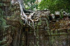 The trees on the temple walls.Ta Prohm.Angkor.Cambodia. Royalty Free Stock Photo