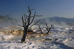 Trees and terraces, Mammoth hot springs, Yellowsto Royalty Free Stock Image