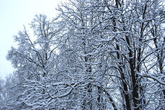 Trees in to snow. Branches of trees in white fluffy to snow Royalty Free Stock Photography