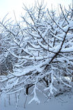Trees in to snow. Branches of trees in white fluffy to snow Stock Photos