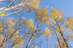 Trees Tower Overhead, Crowned in Yellow and Orange Royalty Free Stock Photography