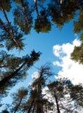 The trees towering. The trees towering into the blue sky Stock Photo