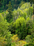 Trees, trees, trees!. Dozens and dozens of trees in all colors, from blue-green to yellow, in high density forest on a hillside Royalty Free Stock Image