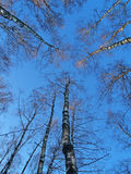 Trees trio. The trees of birches in the forest on blue sky background Stock Photography