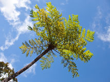 Trees of tropical climate, bottom view against the blue sky Royalty Free Stock Image