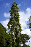 Trees of tropical climate.  Mauritius Royalty Free Stock Photography