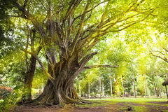 Trees of tropical climate.  Mauritius Royalty Free Stock Image