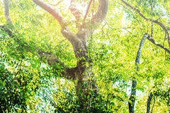Trees in tropical forests. Of asia Stock Image