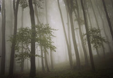Trees trough fog in a forest Royalty Free Stock Image