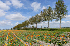 Trees and tulips in dutch landscape Royalty Free Stock Images