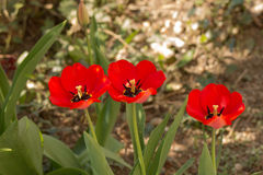 Trees tulips Royalty Free Stock Photography