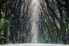 Trees Tunnel. Leafless trees tunnel on a park alley during autumn fall royalty free stock photo