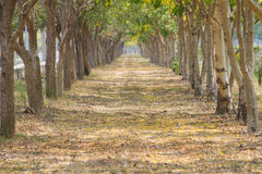 Trees tunnel. Selective focus to trees tunnel Stock Photos