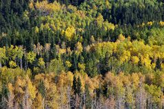Trees turn yellow near Elbow River Royalty Free Stock Photos