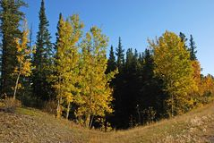 Trees turn yellow near Elbow River Royalty Free Stock Photography