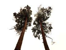 trees två Arkivbilder