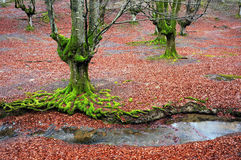 Trees with twisted green tree roots and moss Stock Photos