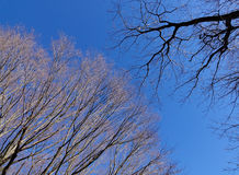 Trees under the blue sky. In Alishan forest, Chiayi, Taiwan Royalty Free Stock Photos
