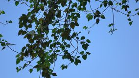 Trees under the blue sky. At the Botanic Garden in Singapore stock footage