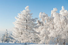 Trees under heavy snow Royalty Free Stock Photography