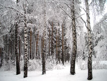 Trees under snow Stock Photography