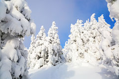 The trees under snow are on the lawn. Stock Image